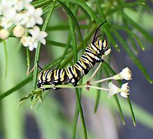 Monarch Caterpillar - 10 by Donna R. Carter
