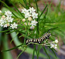 Monarch Caterpillar - 11 by Donna R. Carter