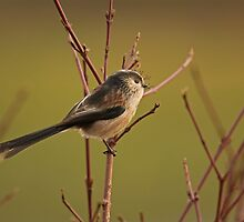 Longtail tit by Jon Lees
