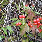 Hi-Bush Cranberries by MaeBelle