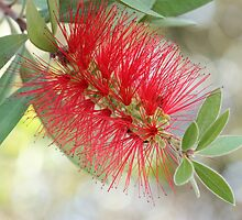 Bottle Brush Flower by ElyseFradkin