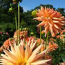 Peachy Dahlias no.3 by Orla Cahill Photography