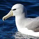 Salvin's Albatross (Diomedea salvini) by lukasdf
