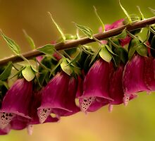 Foxglove by Annie Lemay  Photography