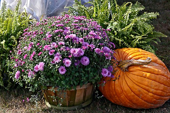 Aster's on Display by Brenda Dow