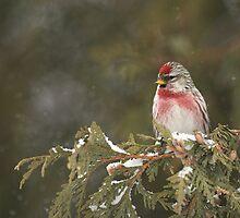 Common Redpoll by Wayne Wood