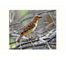 Spotted Bower Bird taken at Macquarie Marshes. Art Print