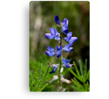 Wild Blue Lupin Canvas Print