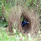 Sattin Bowerbird in his Bower. Taken Seaham area. by Alwyn Simple