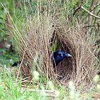 Sattin Bowerbird in his Bower. Taken Seaham area. by Alwyn Simple