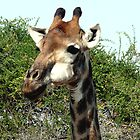 Portrait of a Giraffe by Margaret  Hyde