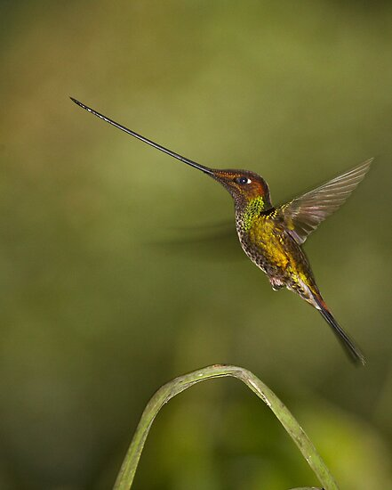 Swordbilled Hummingbird by citrineblue