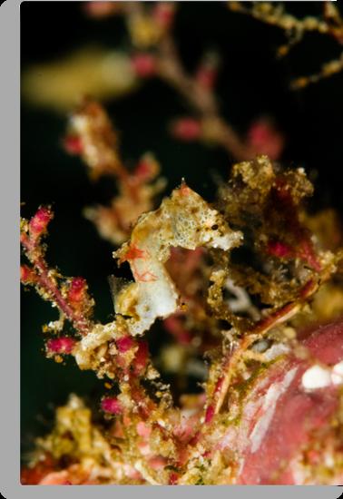 Weedy Pygme Seahorse by muzy