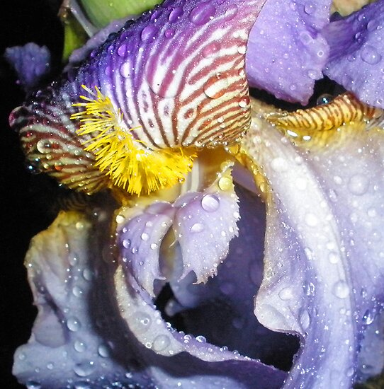 Wet Iris by Orest Macina
