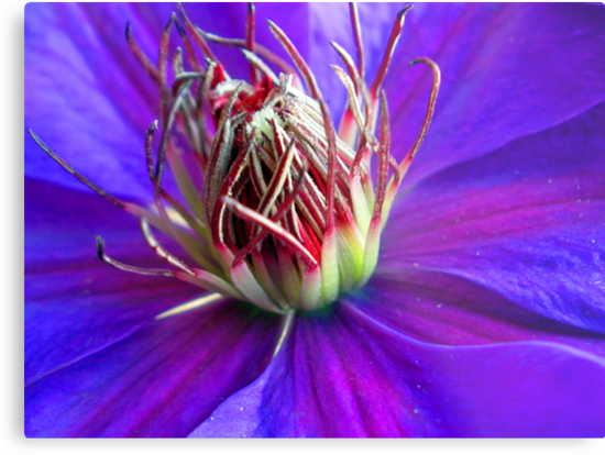 Purple Clematis by Orest Macina
