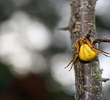 Goldenrod Crab Spider!  by Linda Costello Hinchey