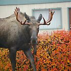 neighborhood moose... by Bob Moore