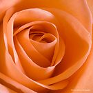 Peach Rose by David's Photoshop