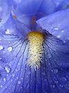 iris by Tania  Donald