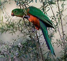 Australian King Parrot taken at Goulburn River Cottages - Ulan NSW by Alwyn Simple