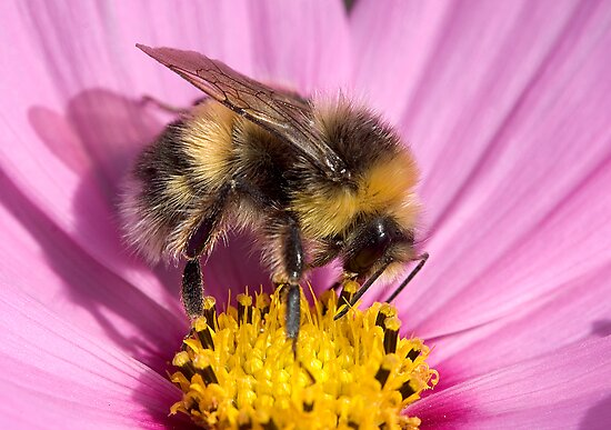Bumble bee - Bombus lucorum by Carole Stevens
