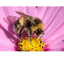 Bumble bee - Bombus lucorum Photographic Print