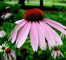 Echinacea by Ana Belaj