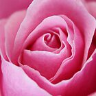 Pink Rose by Framed-Photos