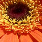 Orange Gerbera by Framed-Photos