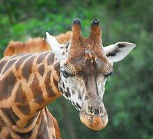 Giraffe by randmphotos