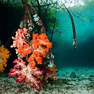 Soft Coral in Blue Water Mangroves by muzy
