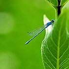Damselfly on Green by Jan Cartwright