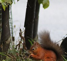 Red Squirrel by Gary Winters