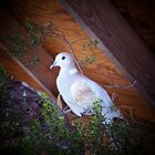 Dove Love by kimron