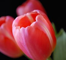 Tulips on Black by Roxanne Persson