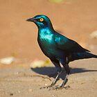 Greater Blue-eared Starling by Erik Schlogl