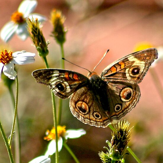 Buckeye Butterfly by Arla M. Ruggles