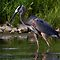 Great Blue Heron catches fish by Jim Cumming