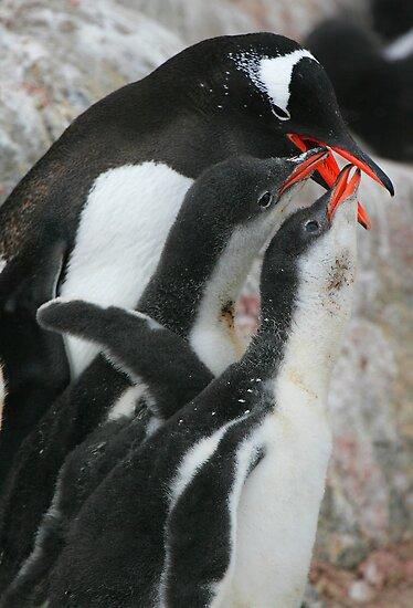 Gentoo feeding 2 chicks by parischris