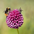 Bee and Fly punchup! by Carole Stevens