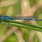 Blue Damselfly by Carole Stevens