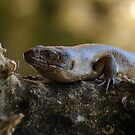 King's Skink by Jon Staniland