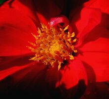 Red Dahlia by swaby