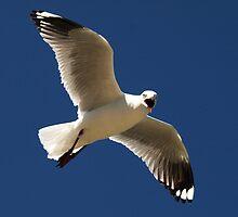 Silver Gull by Jon Staniland