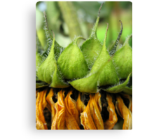 Withered Sunflower no.7 Canvas Print