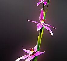 Pink Fairy Orchid by Julia Harwood