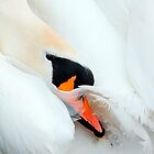 Preening Swan by Stuart Robertson Reynolds