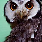 Scops Owl by Stuart Robertson Reynolds