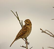 Reed bunting by Jon Lees