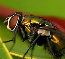 Fly macro by Richard Majlinder